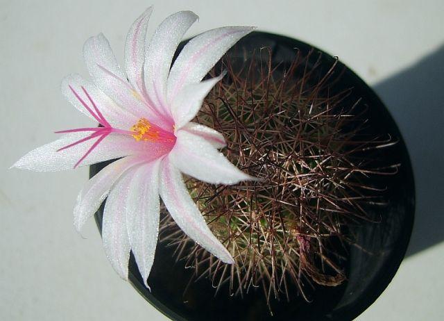 Mammillaria_louisaeXmaza.jpg