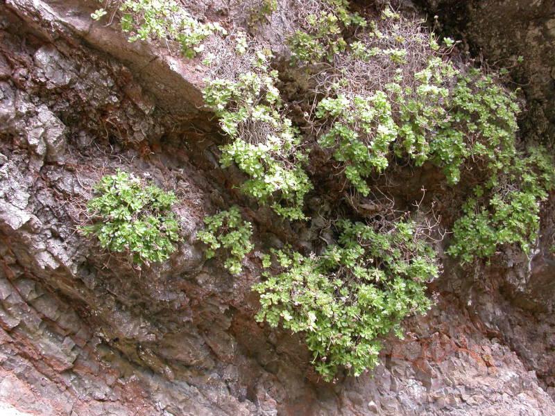 Aeoniumsaundersii2.jpg