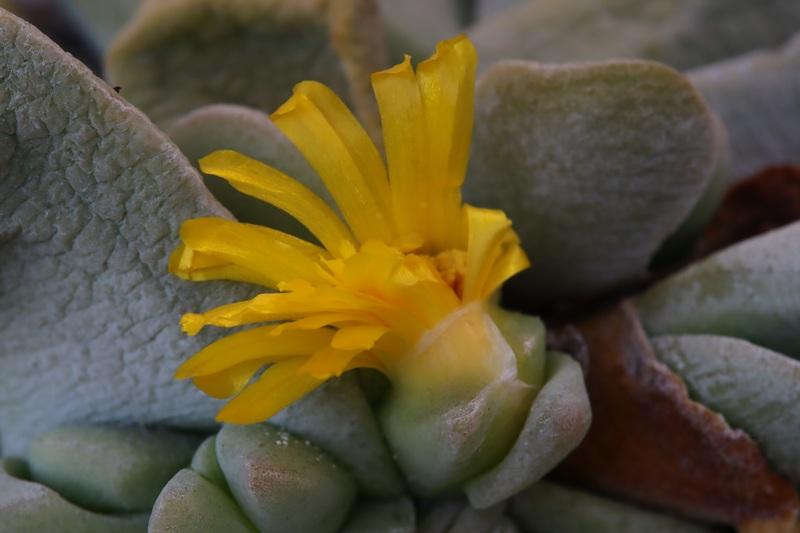 Glottiphyllumoligocarpum013.JPG