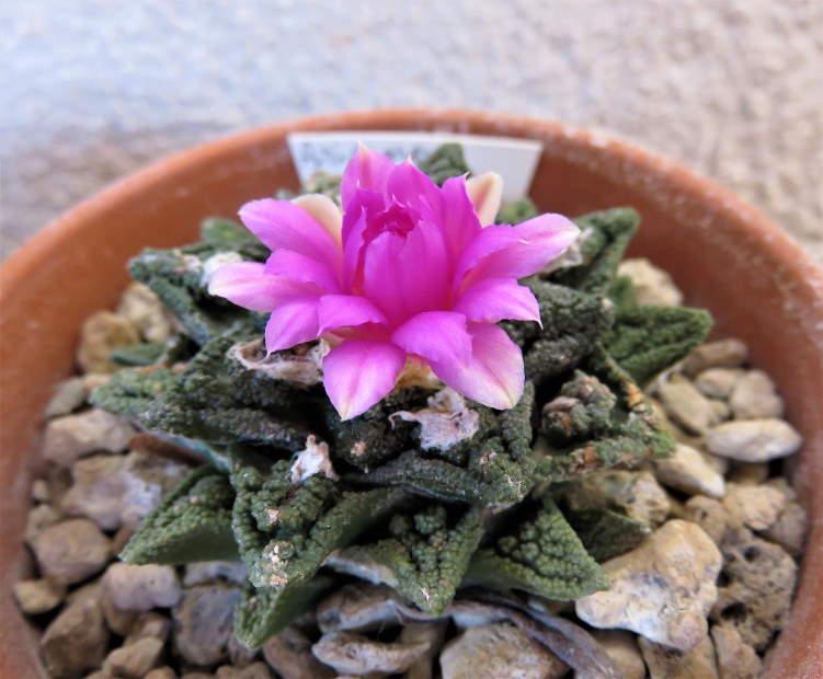 Ariocarpusfissuratusv.hintonii2020.JPG