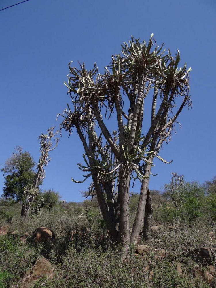 Euphorbiaevansiiapriori-SudTugelaFerry4.JPG