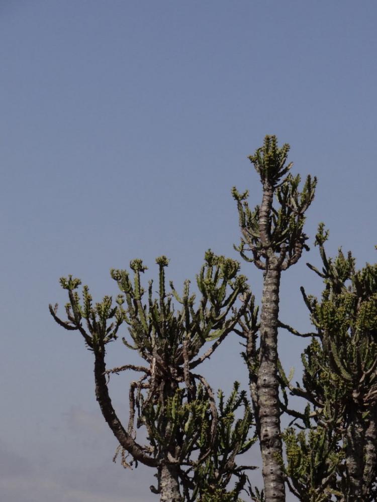 Euphorbiaevansiiapriori-SudTugelaFerry6.JPG
