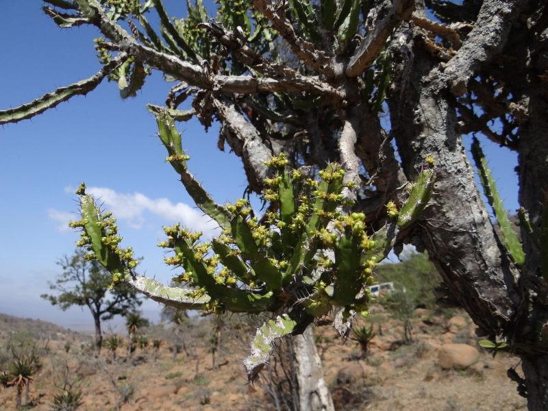 Euphorbiaevansiiapriori-SudTugelaFerry7.JPG