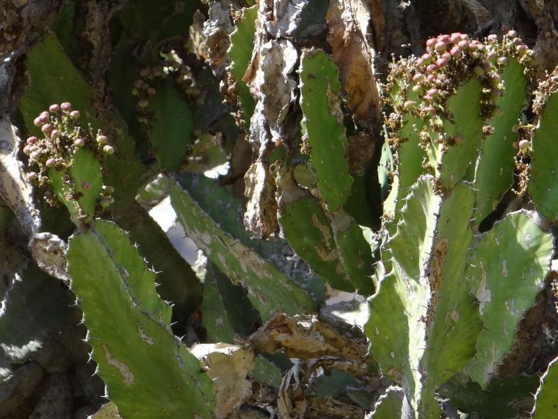 Euphorbiaevansiiapriori-SudTugelaFerry5.JPG