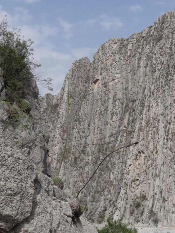 Agavevictoriae-reginae2.JPG