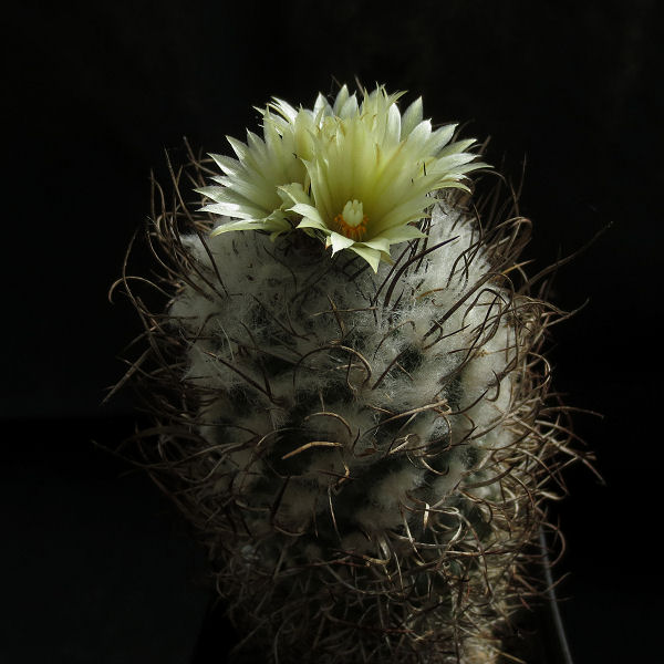 Turbinicarpus_schmiedickeanus_flaviflorus_343_20190603.jpg