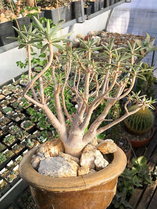 Euphorbiabalsamifera.jpg