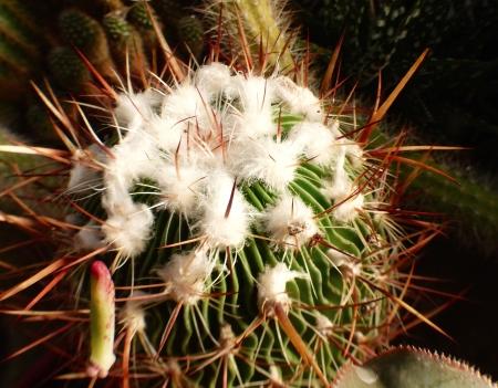 Echinofossulocactusmulticostatus.jpg