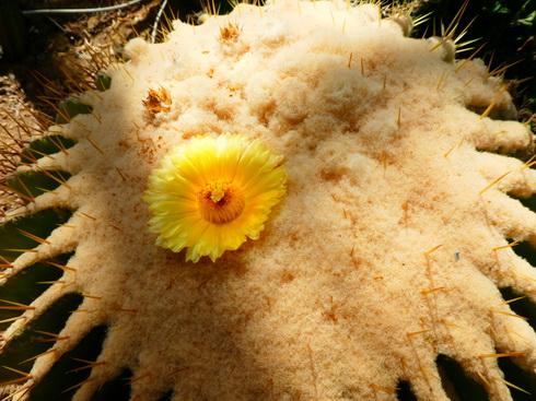 Echinocactusgrandis1.JPG