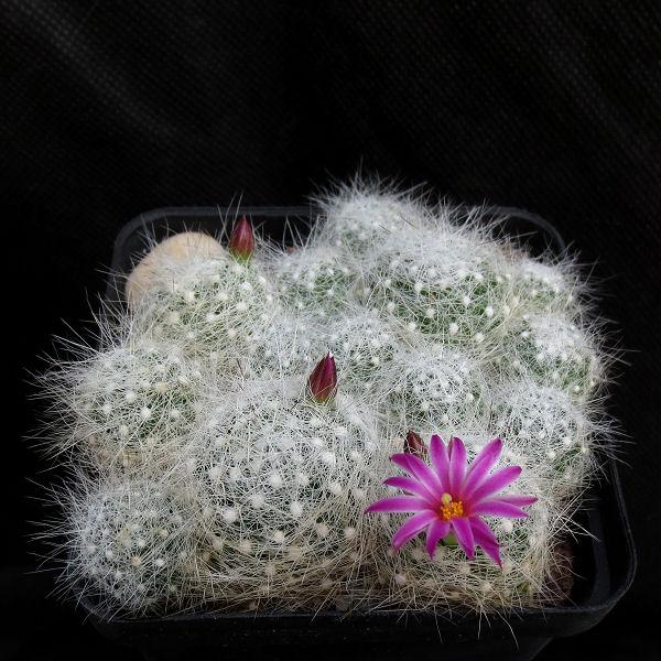 Mammillaria_kraehenbuehlii_Sierra_Mixteca_475_20180520.jpg