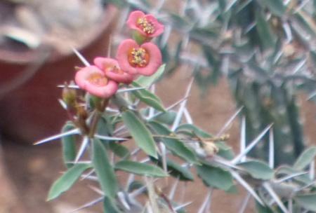 Euphorbiaguillemetii.jpg