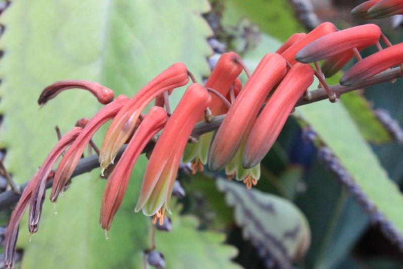 Aloebulbilliferavarpaulianae2016012-2.jpg