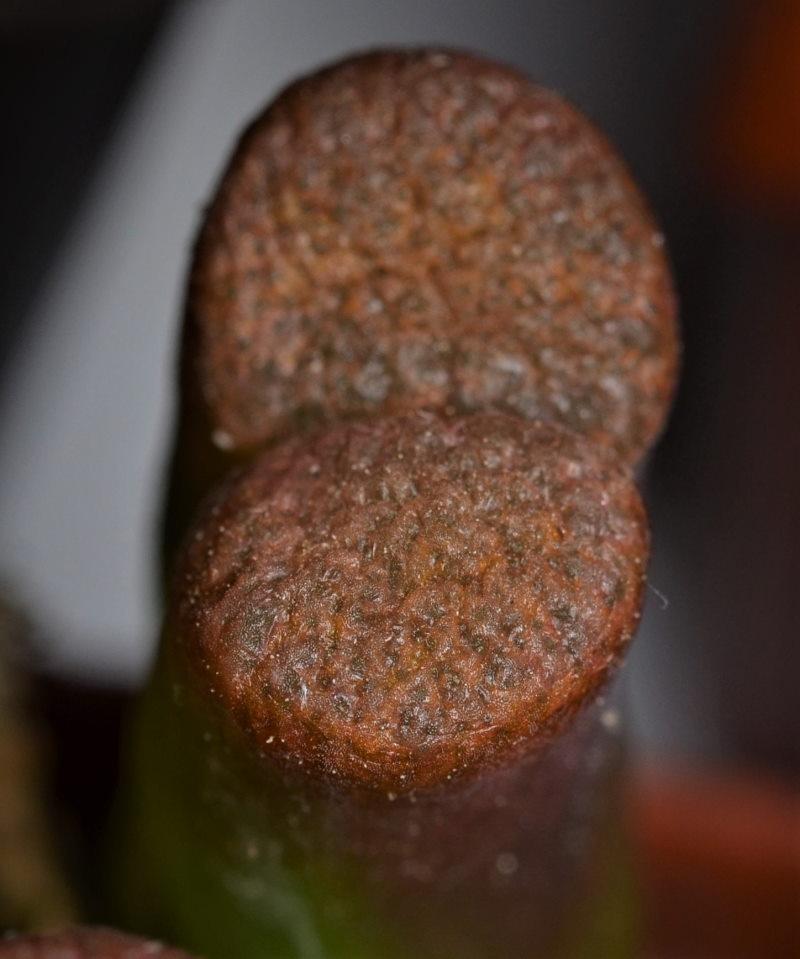 Conophytumverrucosum.jpg