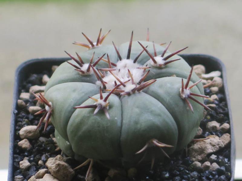 Echinocactushorizonthaloniussubiki010221.jpg