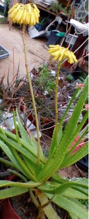 AloespNordAntsirabeplante.jpg