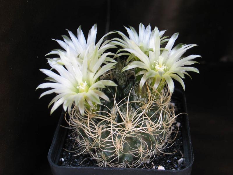 EriosyceHorridocactuscalderanaextaltalensispilispina260511.jpg