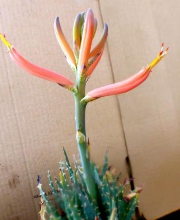 Aloelongistyla.jpg