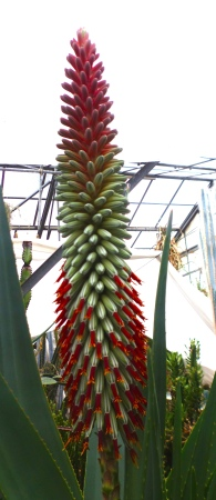 Aloespeciosahampe.jpg