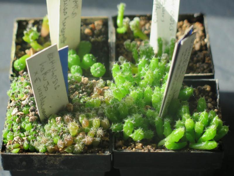 Echinopsishakujoxwerdermanii050321.JPG
