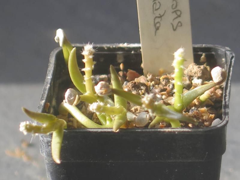 Maihueniopsisglomerata050321.JPG