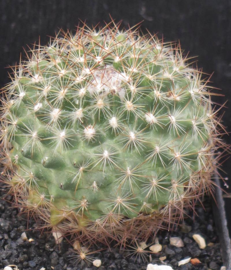 Pediocactussimpsoniiminor020321.JPG