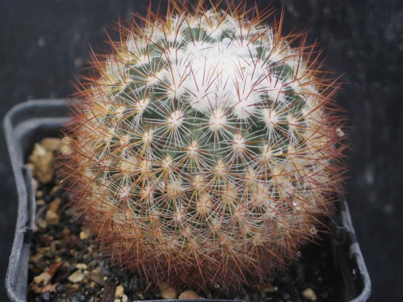 PediocactussimpsoniiminoSB197030321.JPG
