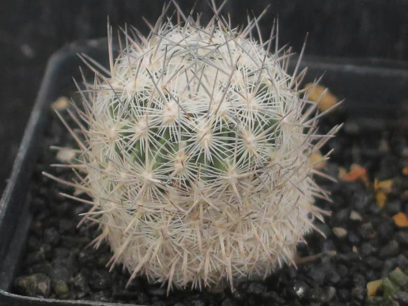 Echinomastusmariposensis030321.JPG