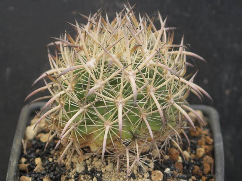 EchinomastuslauiSB525030321.JPG