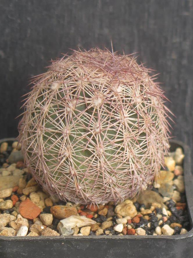 Sclerocactusintertextus050321.JPG