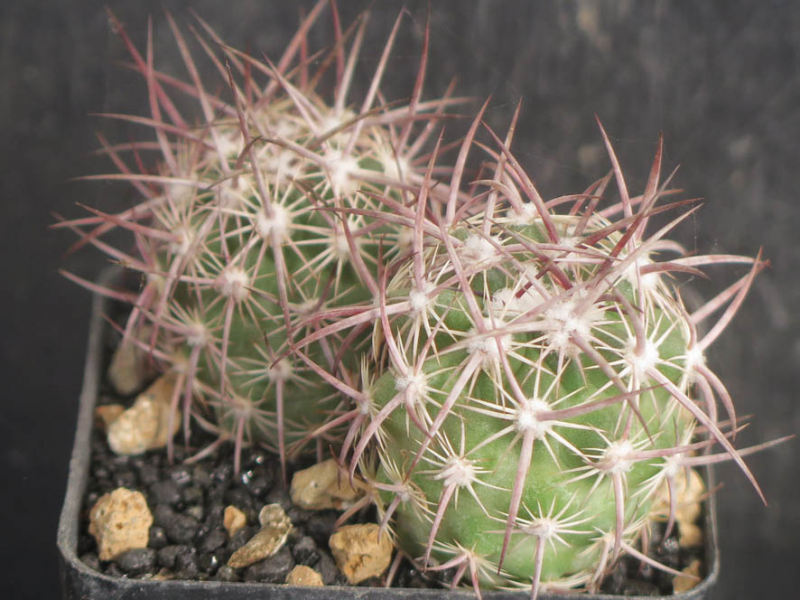 SclerocactusEchinomastusjohnsoniiletescensSB696050321.JPG