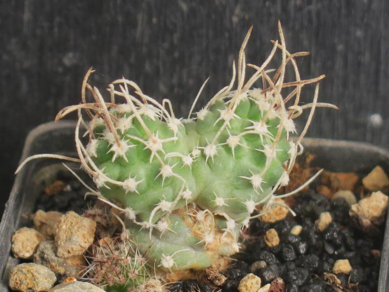 SclerocactusspinosiorblaineiSB1015050321.JPG