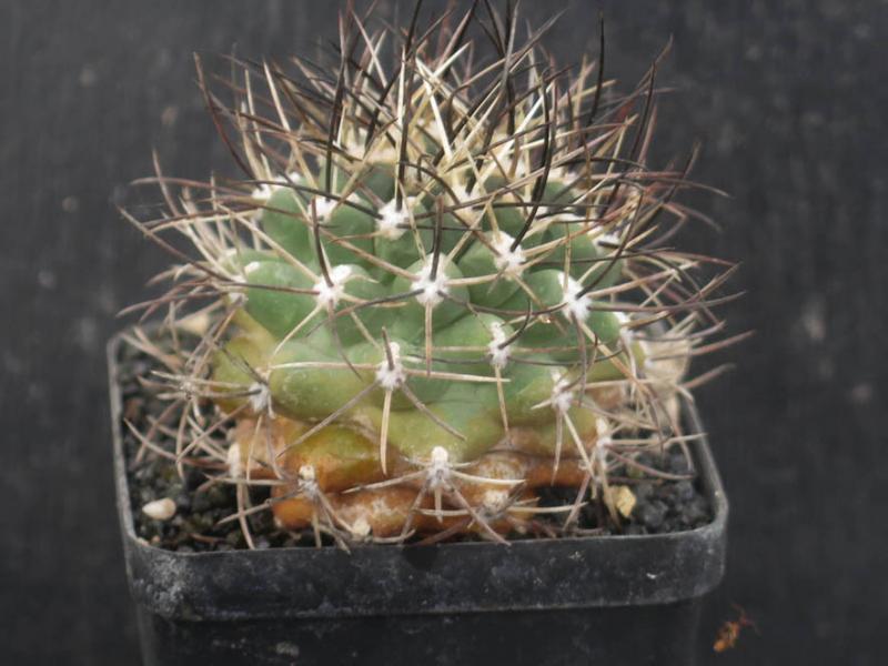 SclerocactusglaucusSB1749030321.JPG