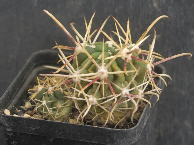 SclerocactusGlandulicactusmattsoniiHO152050321.JPG