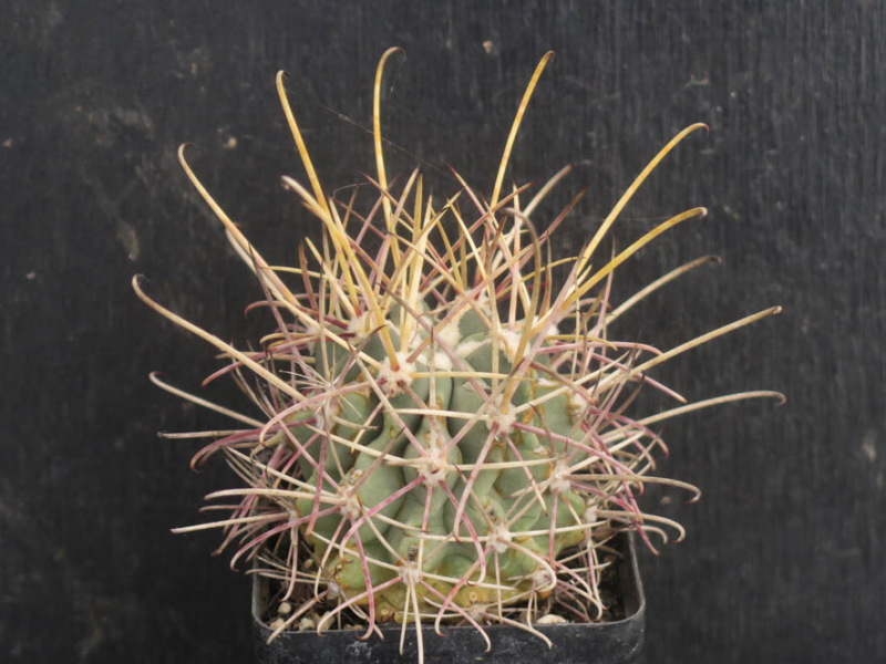 SclerocactusGlandulicactusuncinatus050321.JPG