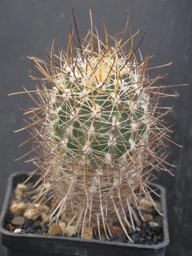 SclerocactusbusekiiSB1086030321.JPG