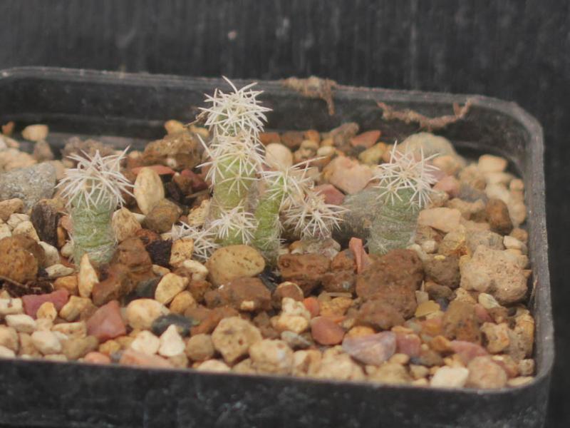 SclerocactusAncistrocactuspinkavanus030321.JPG