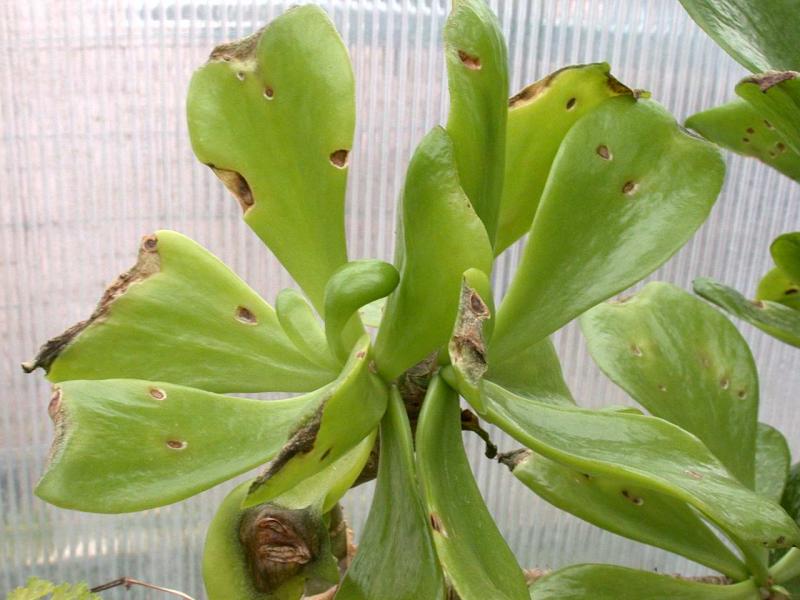 Tylecodon-paniculatus-DSCN3349.jpg