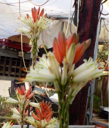 Aloehybrfleurs.jpg