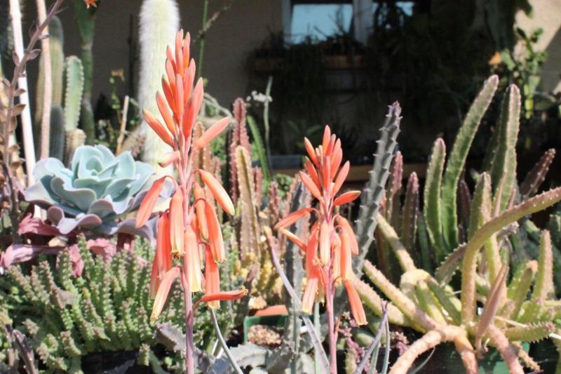 Aloeacutissimavitampolensis2021033.jpg