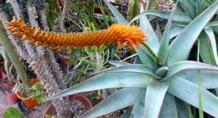Aloecastanea.jpg