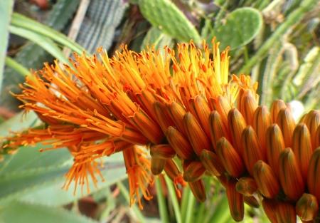 Aloecastaneafleurs.jpg