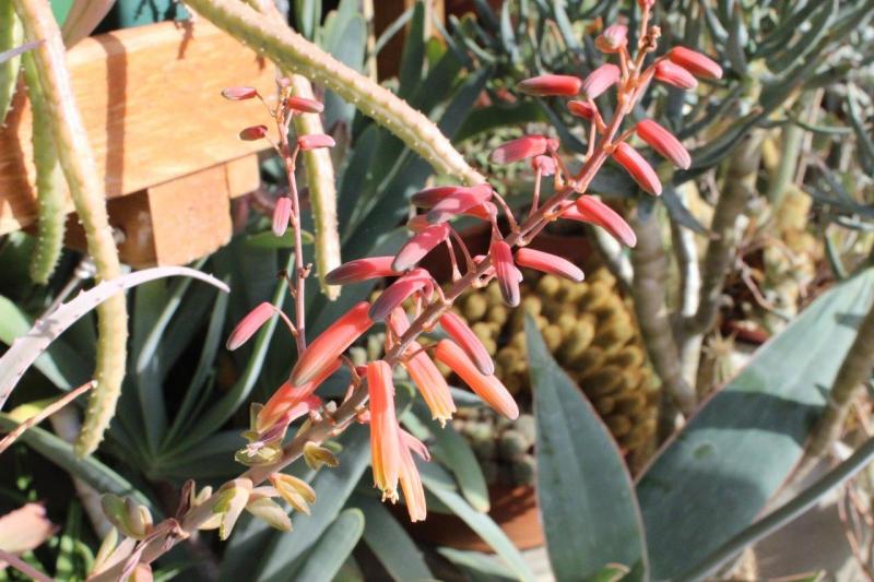Aloebulbilliferavarpaulianae2021021.jpg