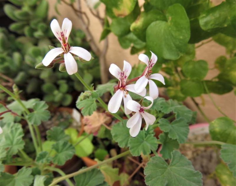 Pelargoniumexhibens2021.JPG