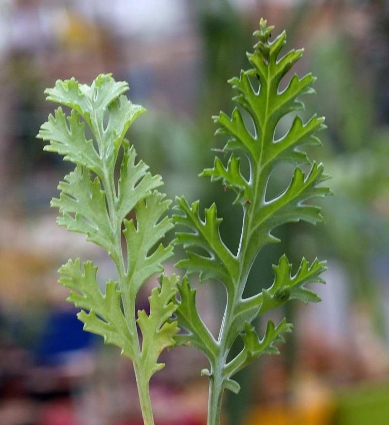 Pelargonium-ferrulaceum-gauche-carnosum-droite-DSCF3394.jpg