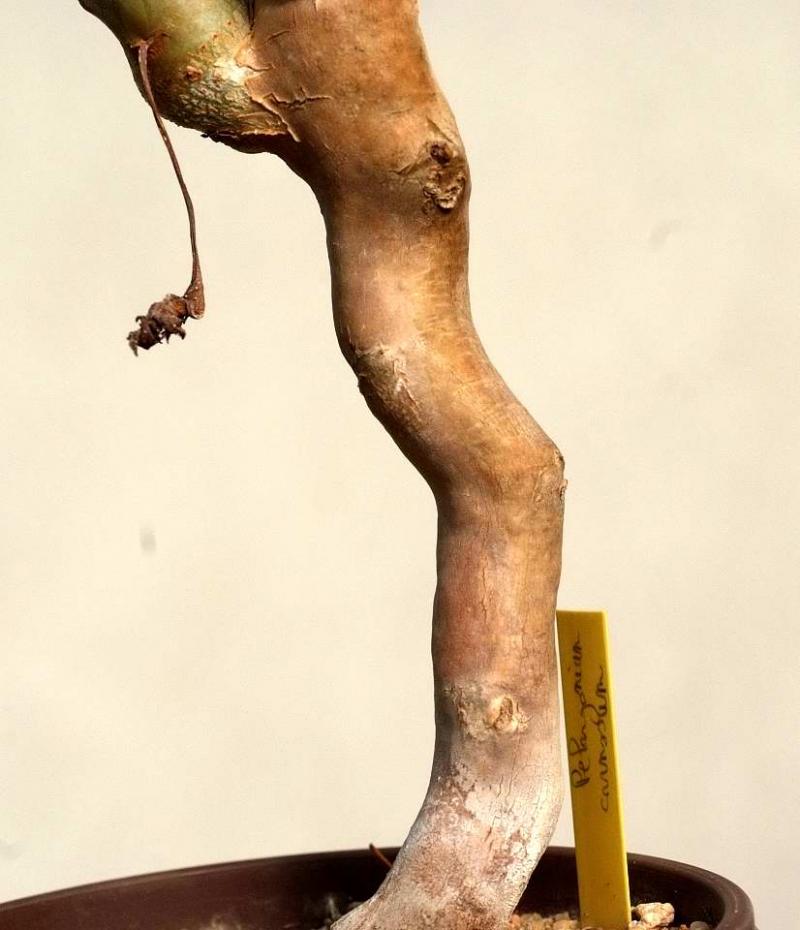 Pelargonium-carnosum-DSCF3391.jpg