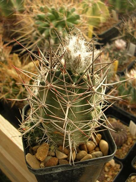 AustrocactuslongicarpusSAR8313.JPG