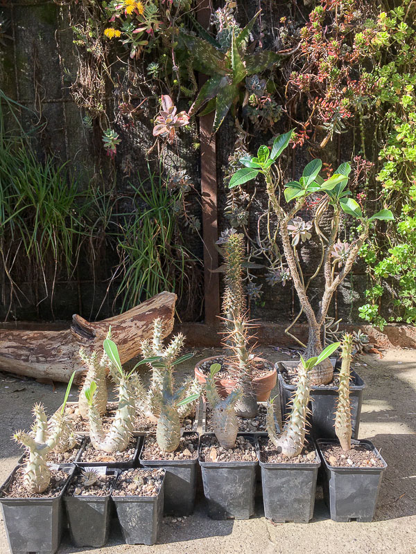 Pachypodiumfamily.jpg