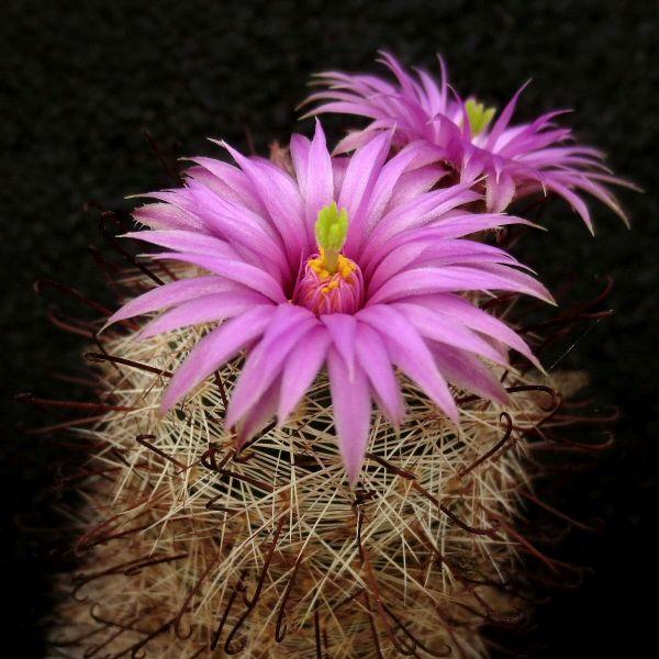 Mammillaria_meridiorosei_Dar154_320_210404.jpg