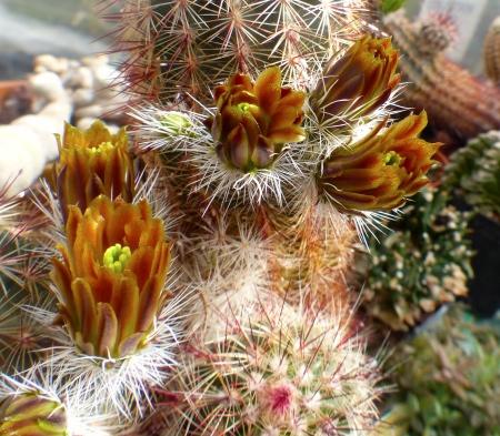 Echinocereuschloranthusneocapillus.jpg