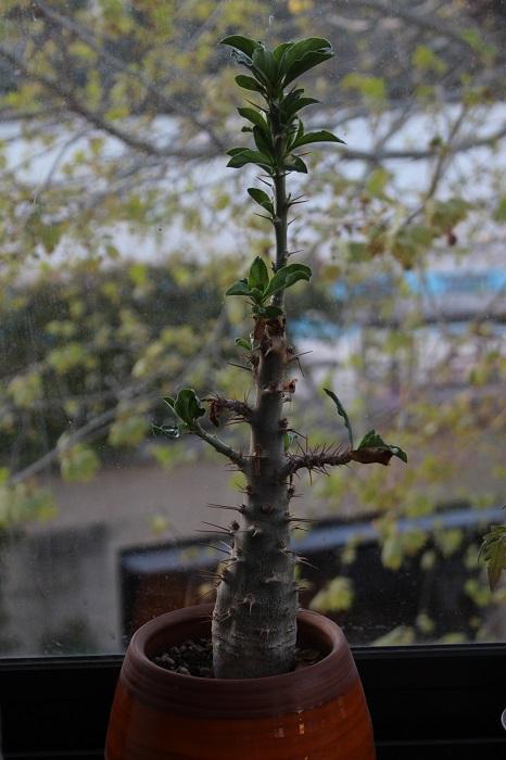 Pachypodium_saundersii.jpg